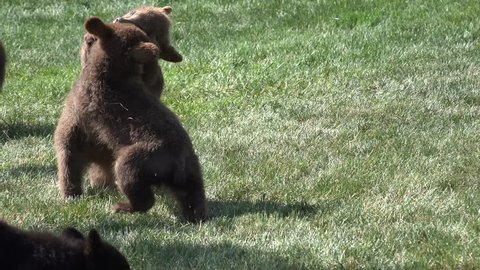 Black Bear Cub Young Immature Several Playing Summer Wrestling Fighting Growth Dominance Animals