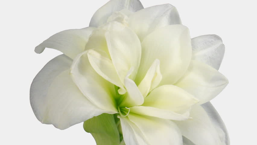 """Time-lapse of opening white """"Alfresco"""" amaryllis Christmas flower 1b4 in RGB + ALPHA matte format isolated on white background"""