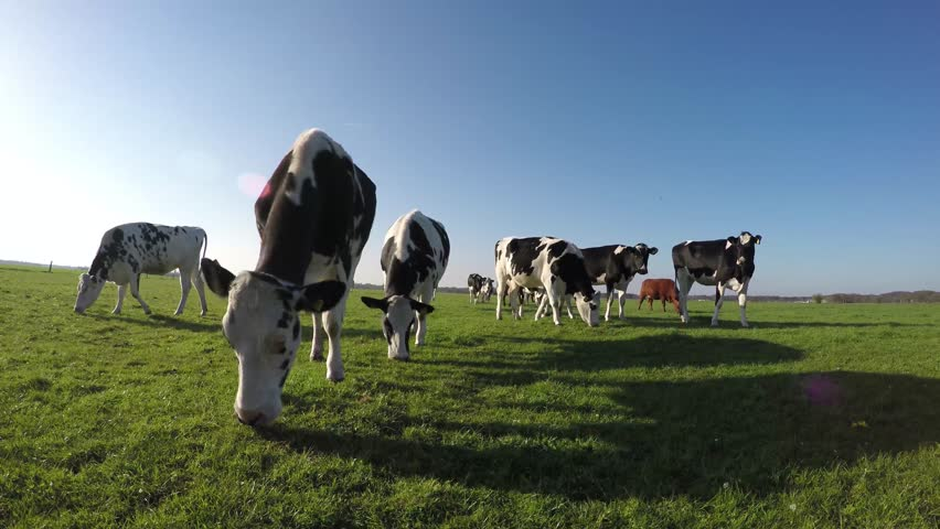 Cows walking towards camera black and white Holstein milk cows naturally eating and enjoying the green fresh grass beautiful crisp blue sky friendly clean clear natural environment 4k high resolution