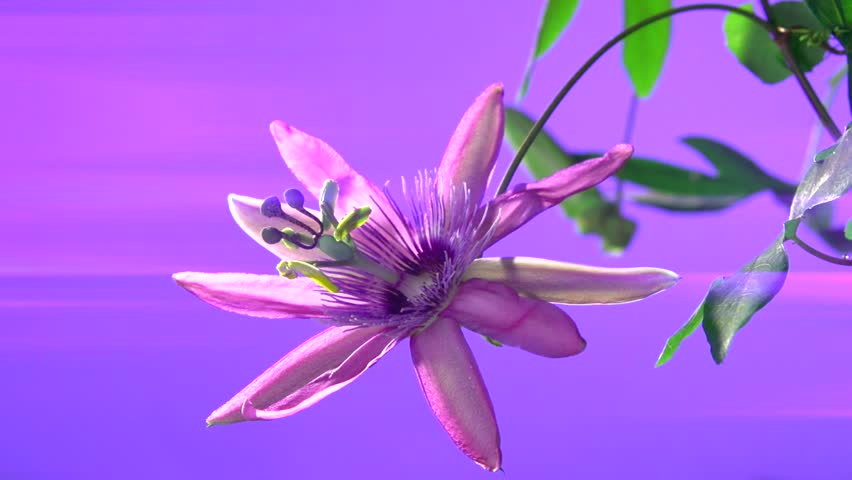Header of Passiflora