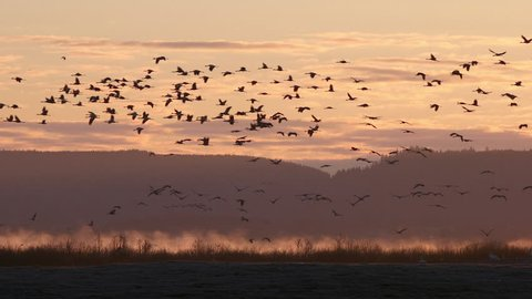 Thousands of crane birds flying in beautiful scenery during migrating