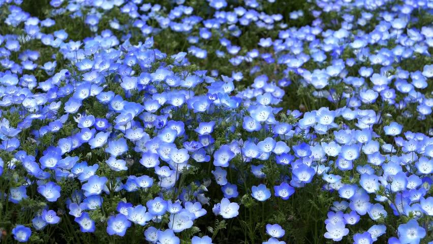 Nemophila Flower Field Baby Blue Eyes Flowers In The Garden Stock Footage Video 9737321 Shutterstock