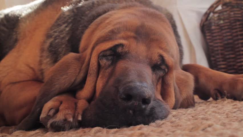 Bloodhound Sleeping