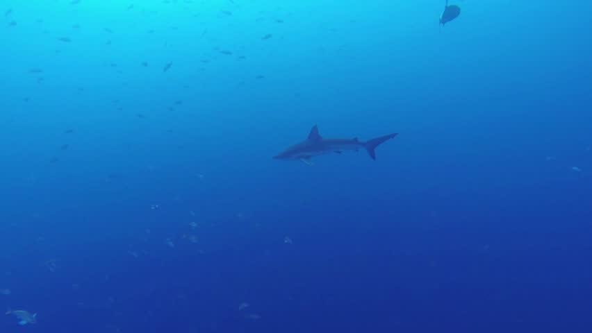 Beautiful full HD footage of a Galapagos shark (Carcharhinus galapagensis) in the deep blue ocean near Baja California, Mexico | Shutterstock HD Video #9962066