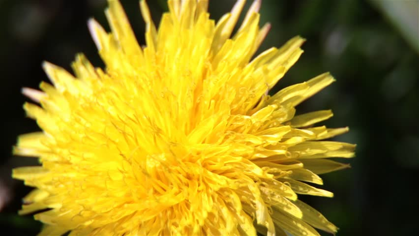 Macro View Of Dandelion Yellow Spring Flower Plant That Has Medicinal Effect The